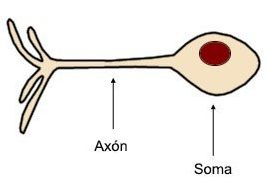neurona-unipolar