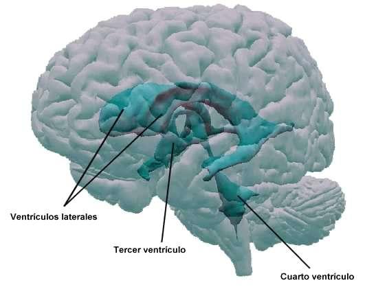 Ventrículos, meninges y líquido cefalorraquídeo: la protección del SNC