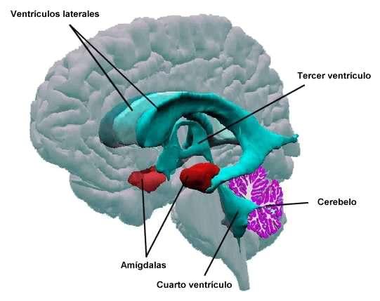 Resultado de imagen de amígdala
