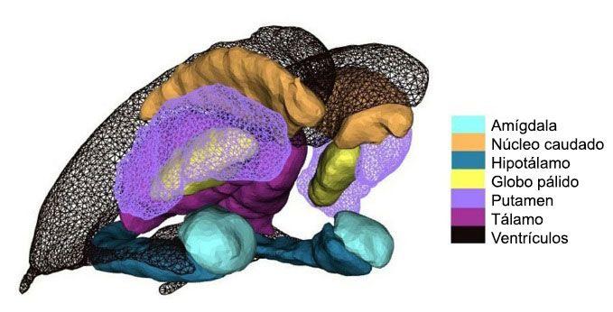 La Sustancia Negra del cerebro, anatomía, función y su relación con el Párkinson