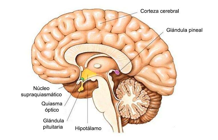 glandula-pineal-hipofisis