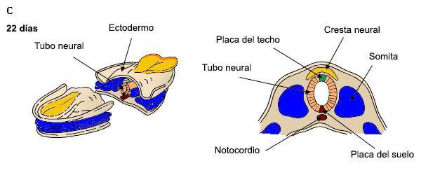 Morfogénesis del Sistema Nervioso: cómo se forma el cerebro
