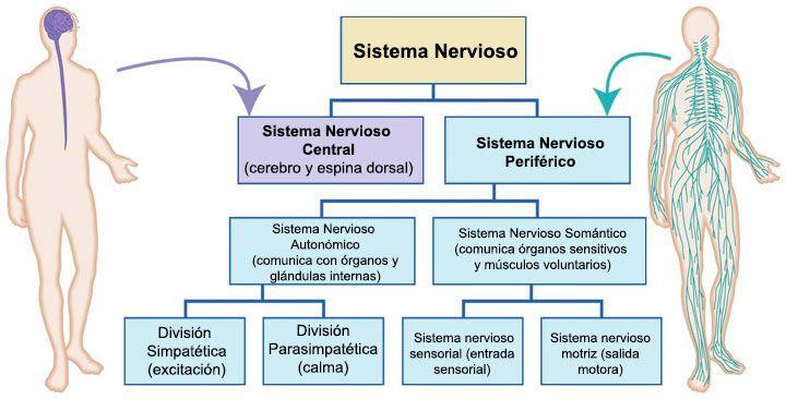 sistema-nervioso