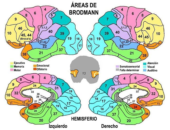 areas-brodmann-numeros